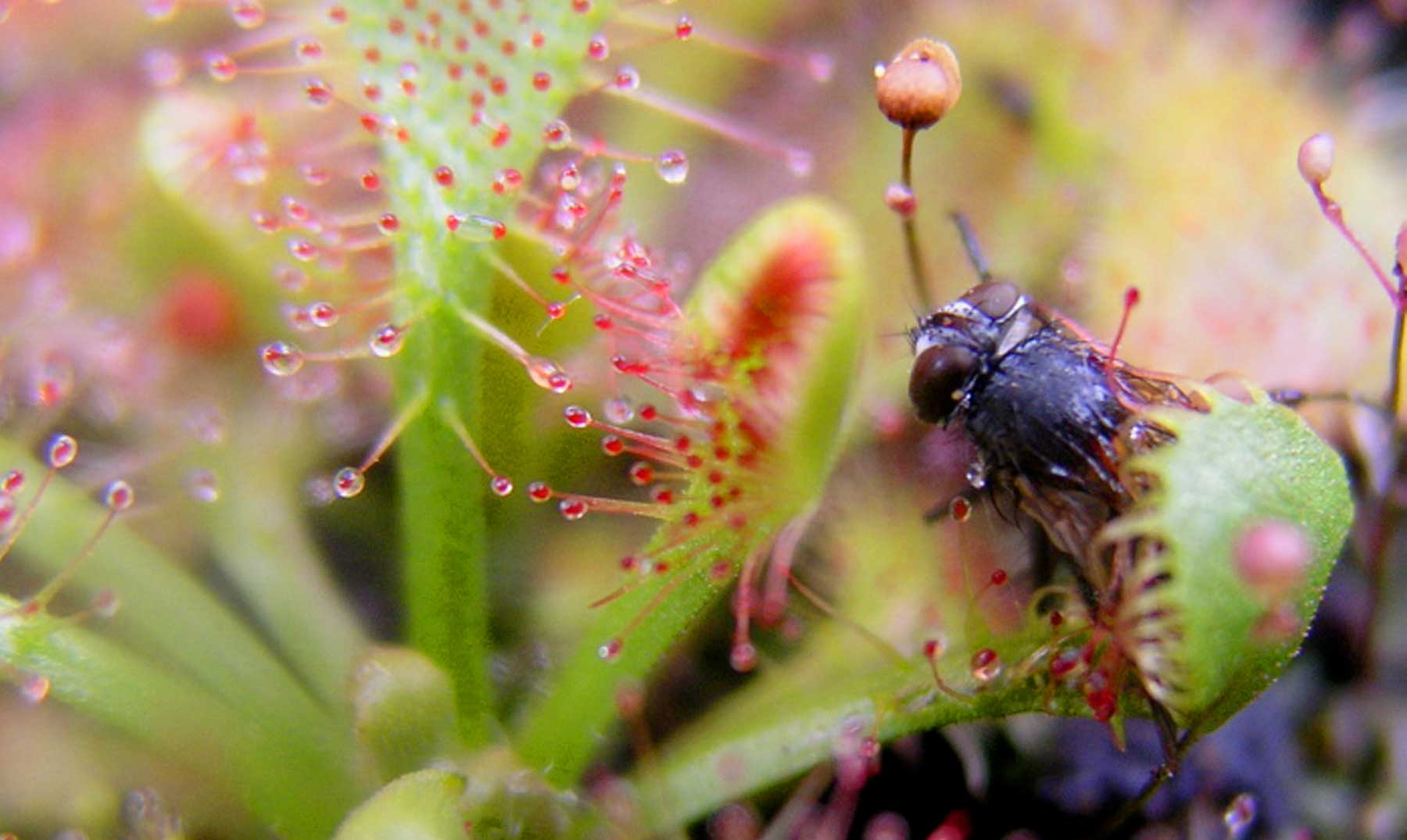 5 plantas carnívoras ultra-letales