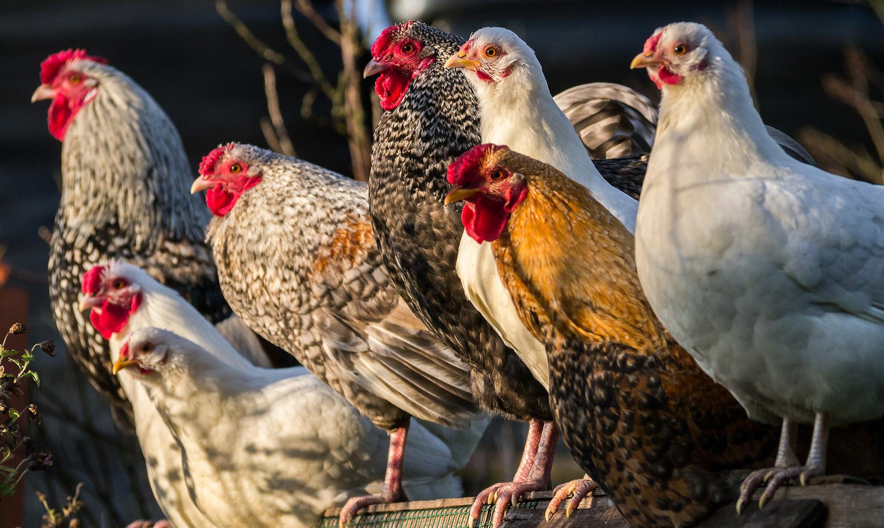 portada gallinas