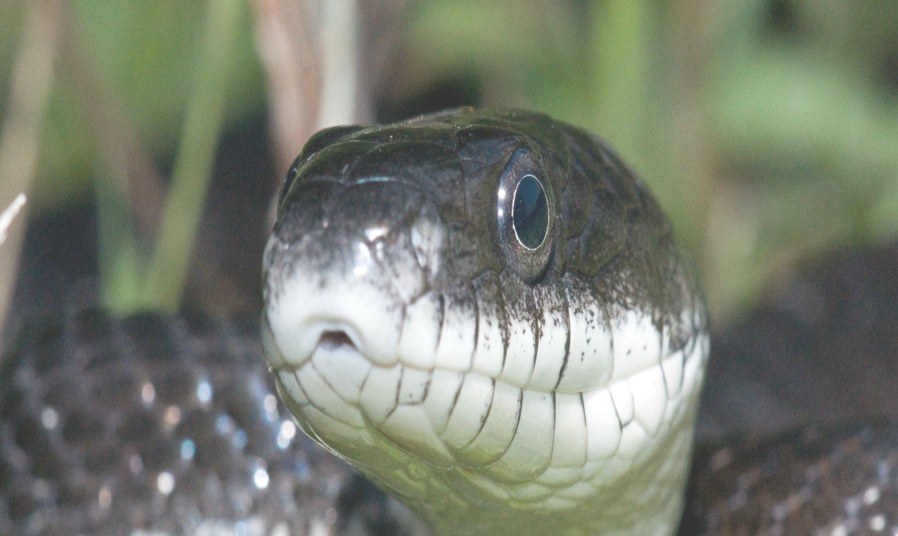 Top 5: Las serpientes más venenosas