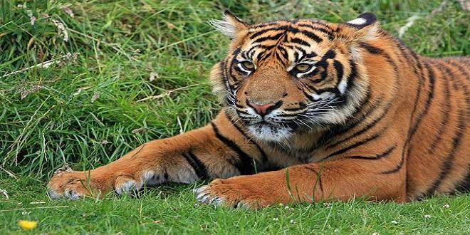 tiger-164905_640