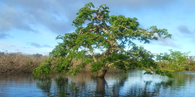 árbol en medio del amazonas, sobre el río Amazonas