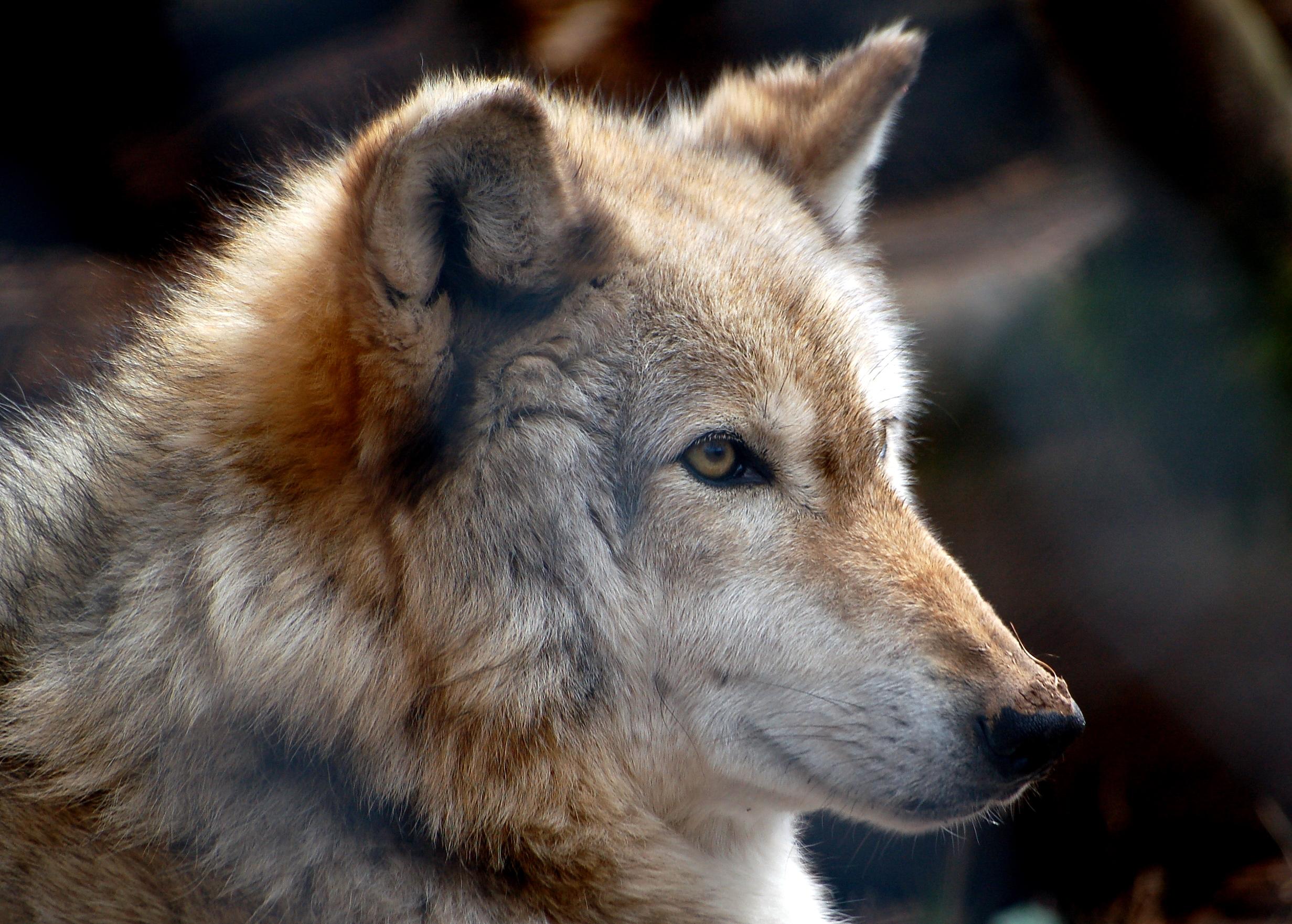 """Descubre cómo los lobos consiguieron """"resucitar"""" Yellowstone"""
