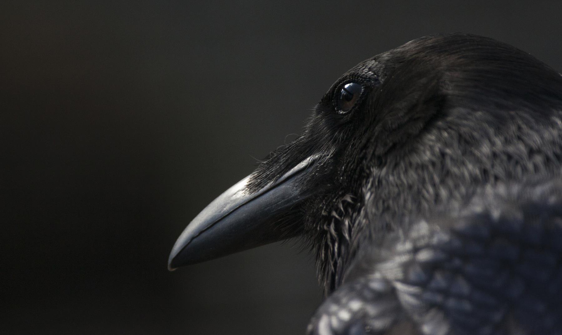 La niña que recibe obsequios de los cuervos