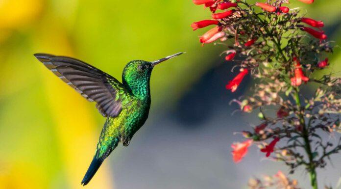 curiosidades del colibri