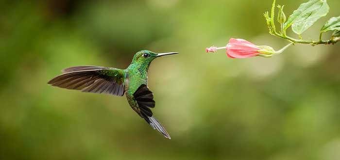 el vuelo del colibri curiosidades de esta ave