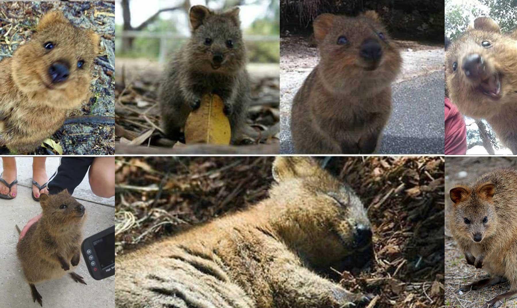 Quokka, un encantador marsupial que quieres conocer
