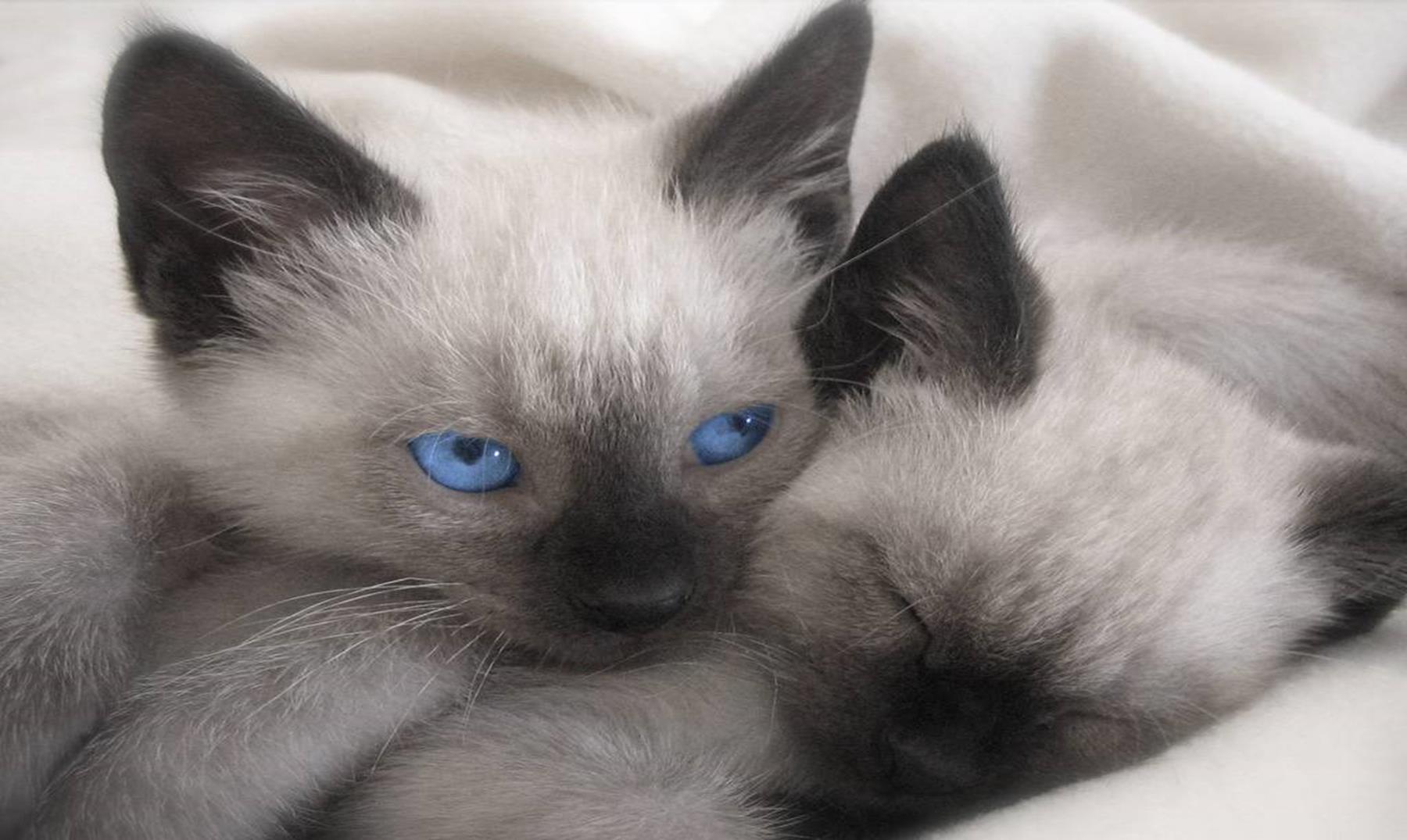 Curiosidades sobre los gatos siameses