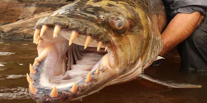 goliath - pez come cocodrilos (Copy)