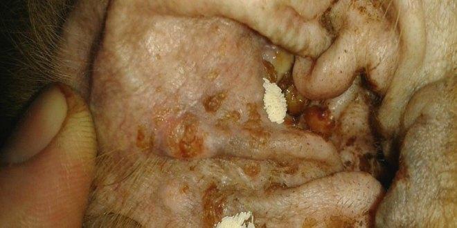gusano barrenador