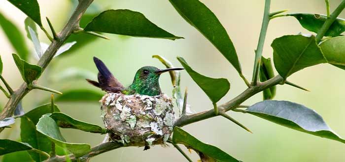nidos de los colibris