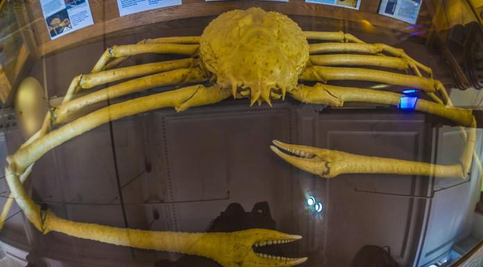 """El cangrejo araña, cangrejo gigante japonés, un """"monstruo"""" de casi 4 metros"""