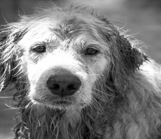 Las otras víctimas del Titanic: los perros