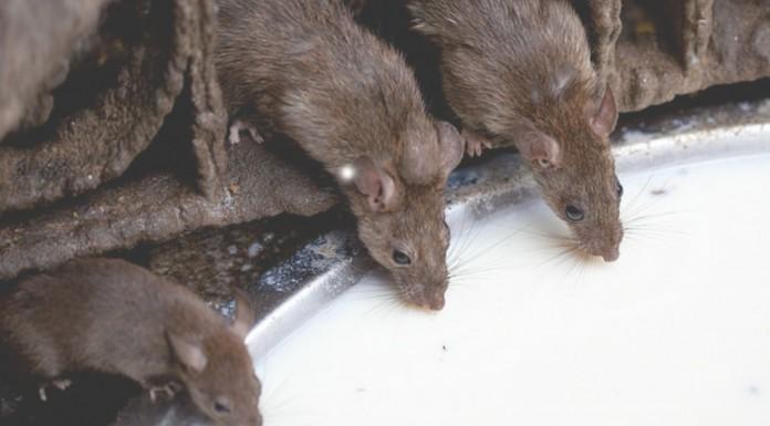 El Templo de las Ratas en la India