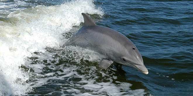 delfín, curiosidades del pene