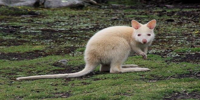 kangaroo-383439_640