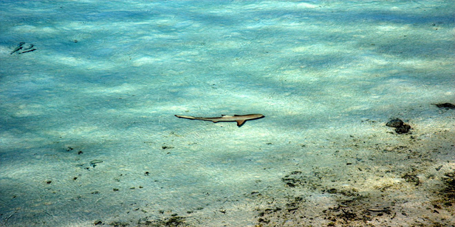 tiburón miniatura