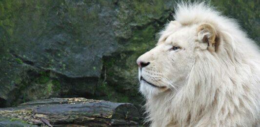 El león blanco africano | Una simbólica especie en extinción