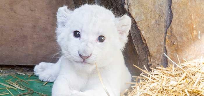 El León Blanco Africano. Una simbólica especie en extinción. 1
