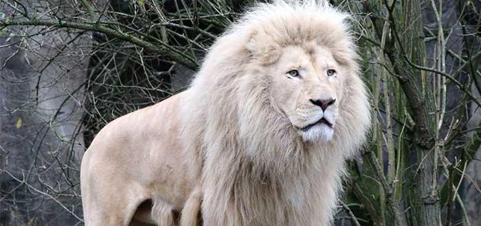 El León Blanco Africano. Una simbólica especie en extinción. 2