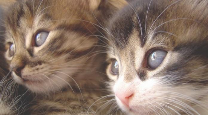 El lenguaje de los gatos, ¿sabes interpretarlo?