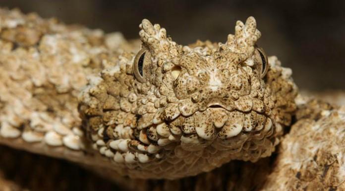 Pseudocerastes urarachnoides, La serpiente que imita a las arañas para atraer a sus presas