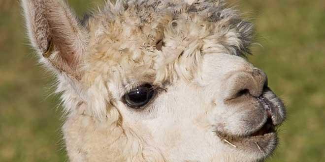 alpaca bebé