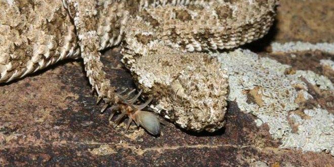 víbora cola araña