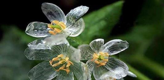"""La """"flor esqueleto"""" que se vuelve transparente con la lluvia"""