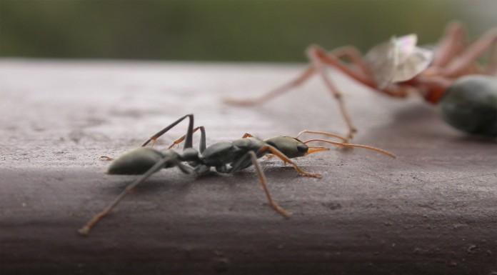¡Cuidado! ¡Hormigas bulldog!