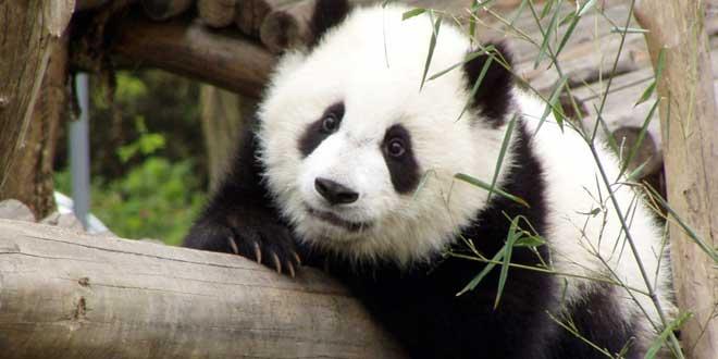 panda pensativo