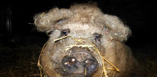 Este cerdo parece una oveja