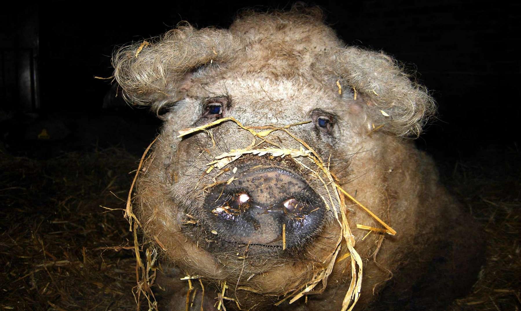 ¡Este cerdo parece una oveja! c1c45277cd1b