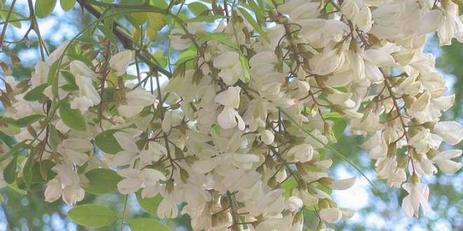 Flores de acacia
