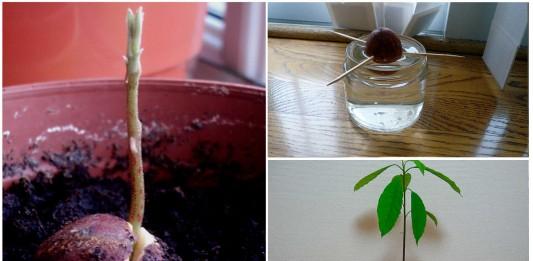 ¿Siempre quisiste plantar un aguacate? ¡Hazlo!