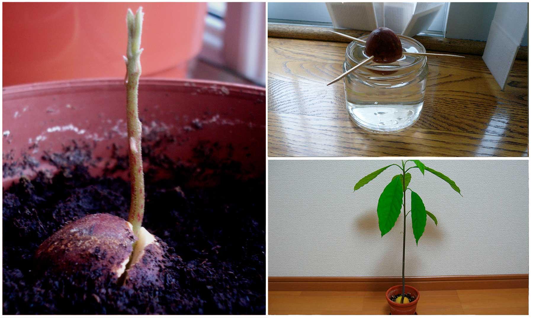 Como plantar un aguacate cool aprende como sembrar un - Plantar aguacate en casa ...