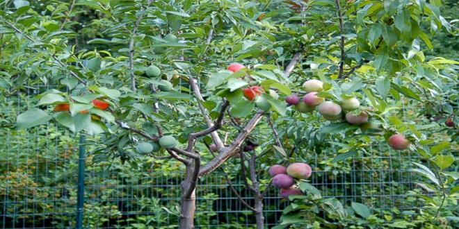 This-Tree-Takes-Gardening-To-Whole-New-Level.-It-Can-Produce-40-Kinds-Of-Fruits1 (Copy)