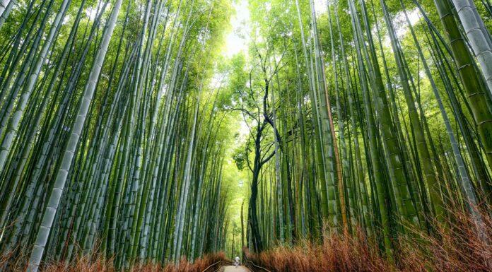 La metáfora del bambú japonés