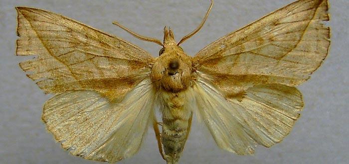 curiosidades de las mariposas, polilla vampiro