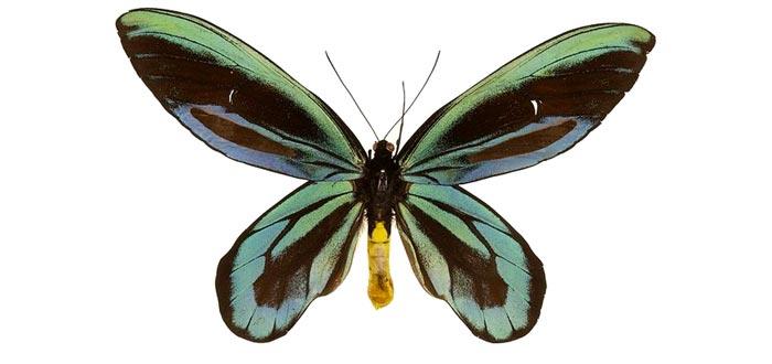 curiosidades sobre las mariposas, Ornithoptera alexandrae