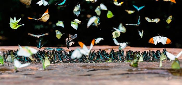 curiosidades sobre las mariposas, charco, nutrientes