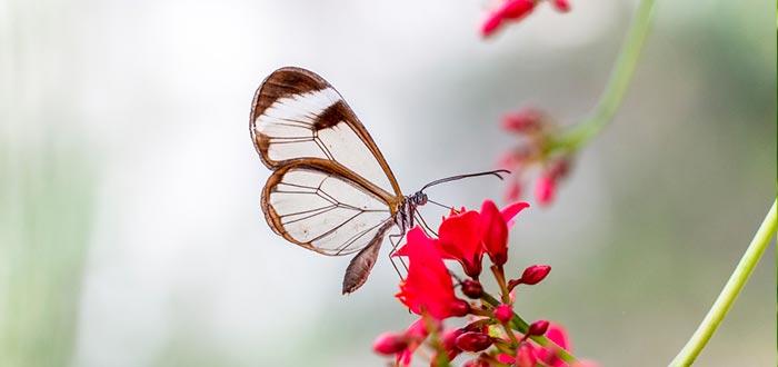 curiosidades sobre las mariposas, mariposa de cristal, Greta Oto