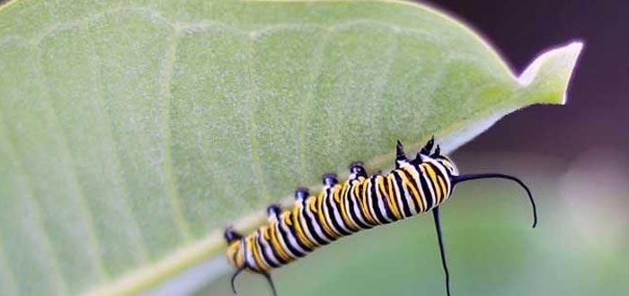 curiosidades sobre las mariposas, oruga