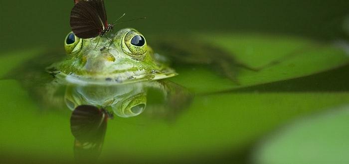 curiosidades sobre las mariposas, rana