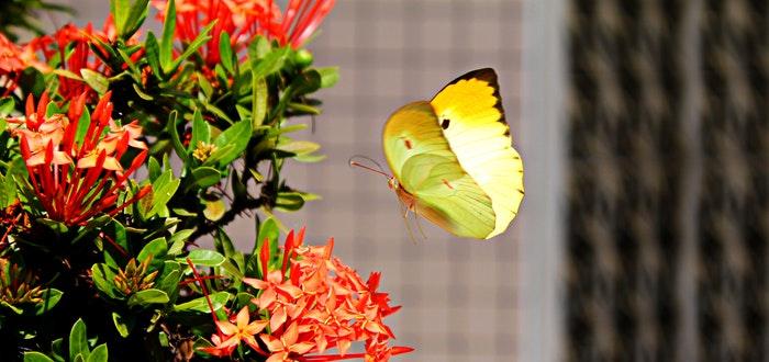 curiosidades sobre las mariposas, volando