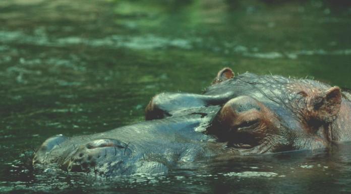 ¿Son los hipopótamos los animales más agresivos del mundo?