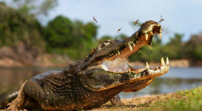 la mandibula mas fuerte del reino animal