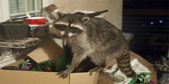 mapache en caja