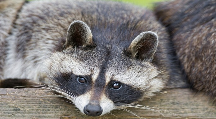 ¿Qué tienen de interesante los mapaches?
