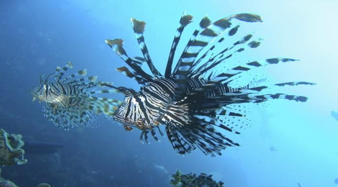 pez león, amenaza en el mar caribe