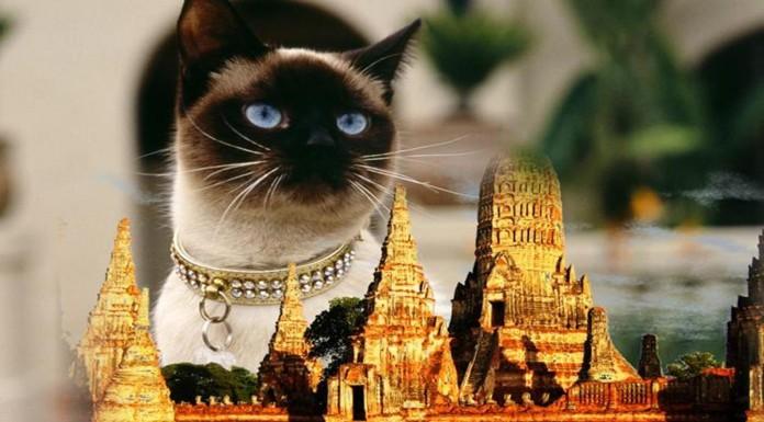 La historia de los gatos siameses los reyes de Tailandia Copy